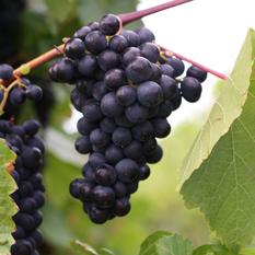Weingut Klaus Junk Pinot Noir